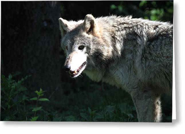 Wolves In Nature Greeting Cards - White Timber Wolf Greeting Card by Dan Sproul