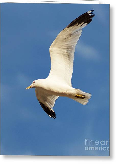 Flying Seagull Greeting Cards - White Tips Greeting Card by Anita Braconnier
