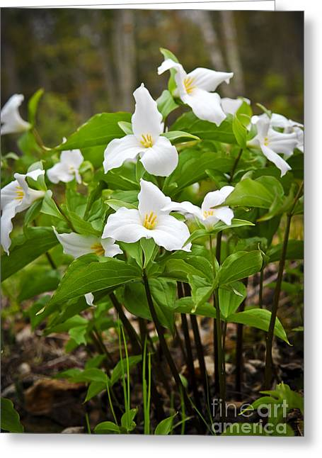 Protected Greeting Cards - White Trillium Greeting Card by Elena Elisseeva