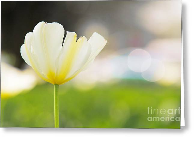 Large White Flower Close Up Greeting Cards - White Tulip Greeting Card by Aleksey Tugolukov