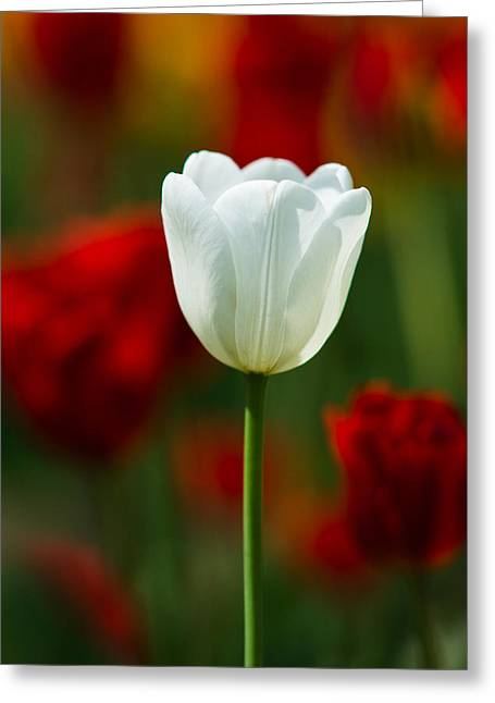 Photo Calendars Greeting Cards - White tulip - Featured 3 Greeting Card by Alexander Senin