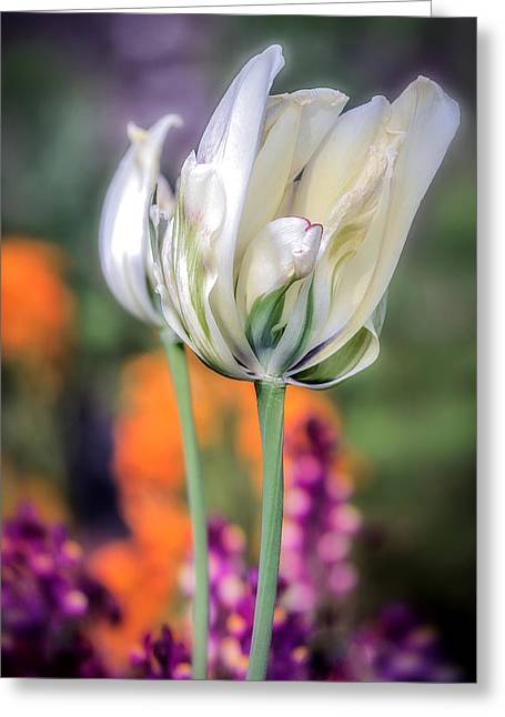 White Tulip Splash Of Color Greeting Cards - White Tulip Splash of Color Greeting Card by Julie Palencia