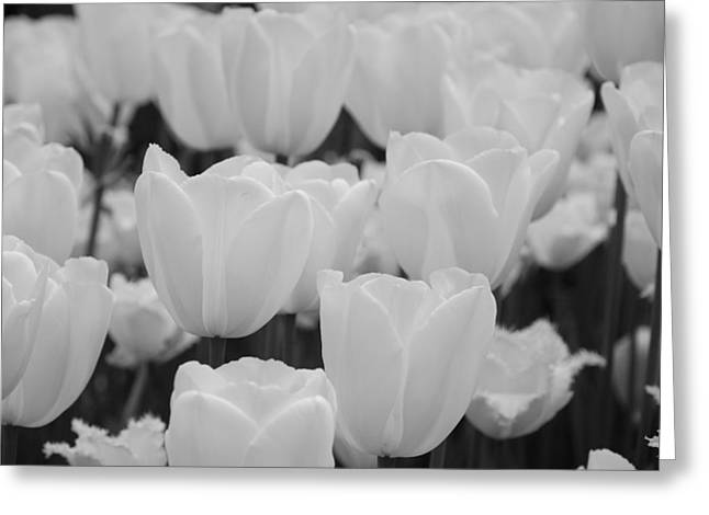 white tulips b/w Greeting Card by Jennifer Lyon