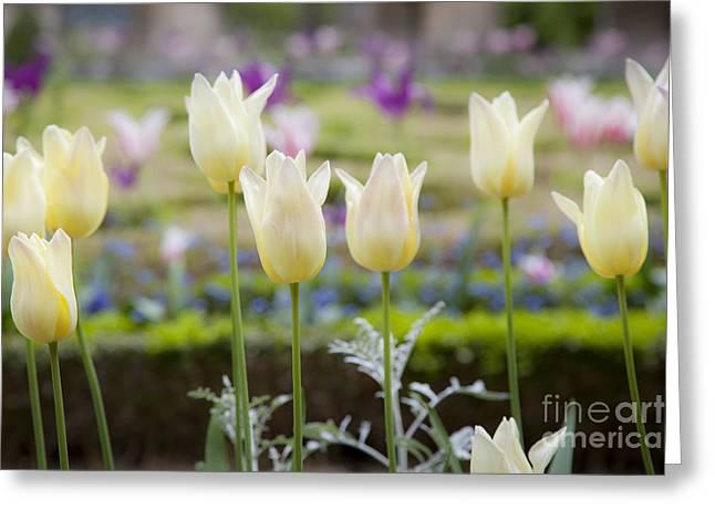 Garden Grown Photographs Greeting Cards - White Tulips in Parisian Garden Greeting Card by Brian Jannsen