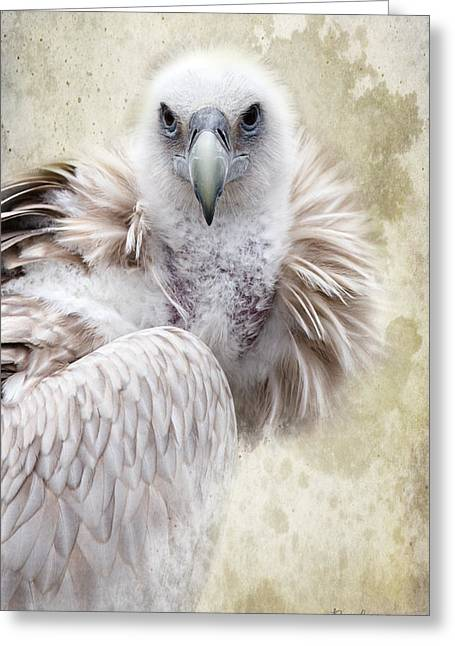 Zoology Greeting Cards - White Vulture  Greeting Card by Barbara Orenya