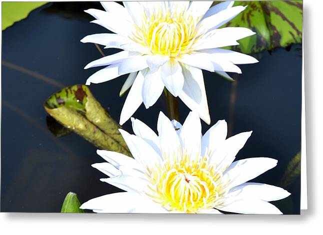 White water Lilies Greeting Card by Jeannette Wagner