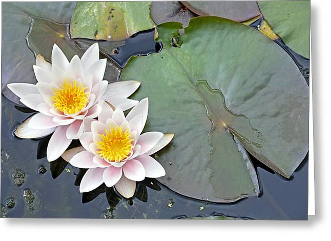 Lilly Pad Greeting Cards - White Water Lilies Netherlands Greeting Card by Jelger Herder