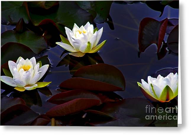 Nymphaea Alba Greeting Cards - White Water Lilies Greeting Card by Nina Ficur Feenan