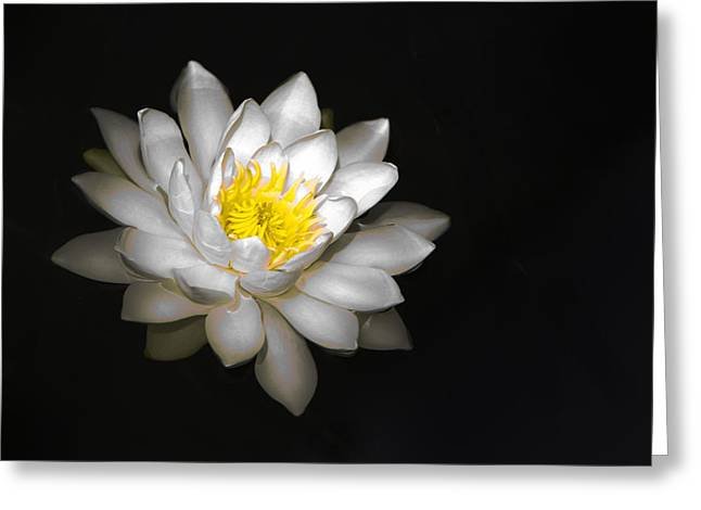 Water Lilly Greeting Cards - White Water Lily on Black Greeting Card by Patti Deters