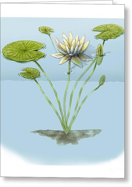 White Waterlily Greeting Cards - White Water Lily Greeting Card by Carlyn Iverson