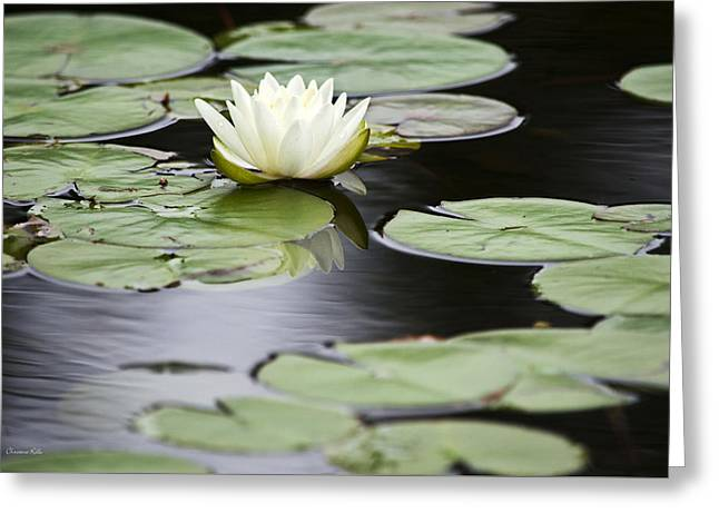 Lilly Pads Greeting Cards - White Water Lily  Greeting Card by Christina Rollo