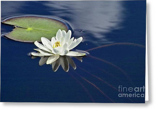 Water Lilly Greeting Cards - White Water Lily Greeting Card by Heiko Koehrer-Wagner
