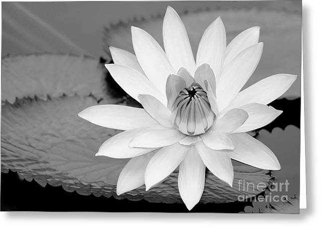 Florida Flowers Greeting Cards - White Water Lily in the River Greeting Card by Sabrina L Ryan