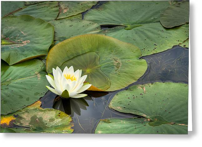 Nymphaea Greeting Cards - White Water Lily Greeting Card by Matt Dobson