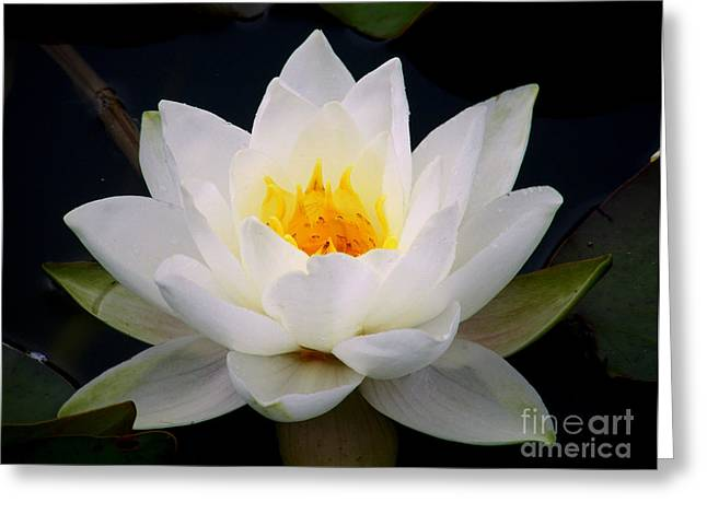 Nymphaea Alba Greeting Cards - White Water Lily Greeting Card by Nina Ficur Feenan
