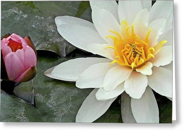 Water Lilly Greeting Cards - White Water Lily Nymphaea Greeting Card by Heiko Koehrer-Wagner