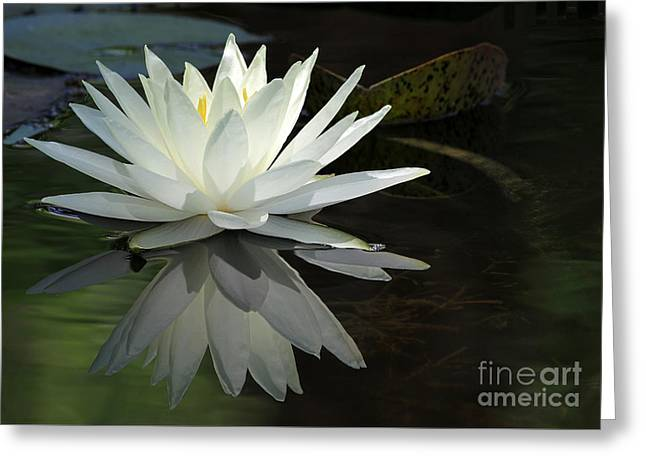 Florida Flowers Greeting Cards - White Water Lily Reflections Greeting Card by Sabrina L Ryan