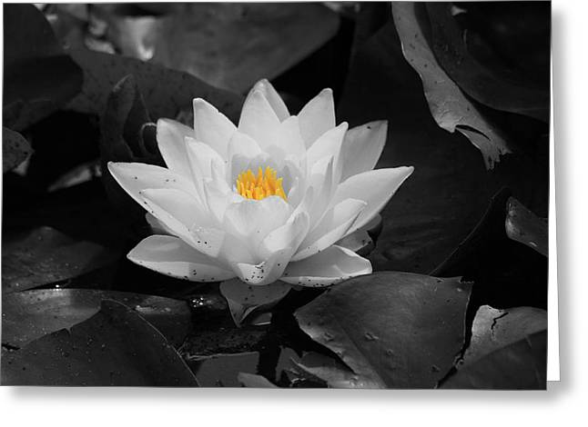 Lilly Pads Greeting Cards - White Water Lily Greeting Card by Shane Bechler