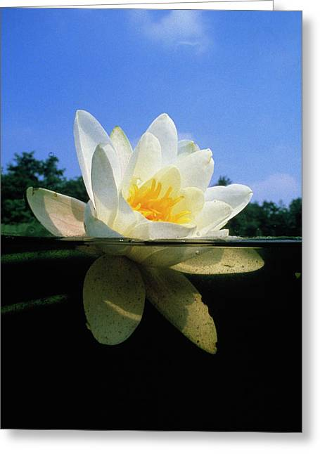 Nymphaea Alba Greeting Cards - White Water Lily Greeting Card by Willem Kolvoort