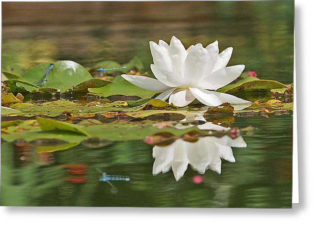 White Waterlily Greeting Cards - White Water Lily with Damselflies Greeting Card by Gill Billington