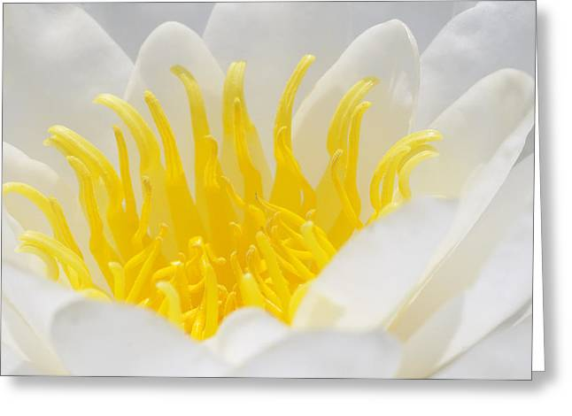 Nymphaea Alba Greeting Cards - White Waterlily Detail Greeting Card by Matthias Hauser
