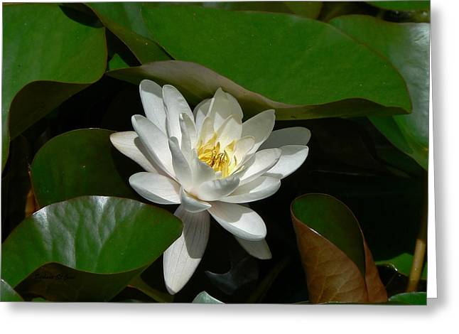 Nymphaea Alba Greeting Cards - White Waterlily Lotus Greeting Card by Barbara St Jean