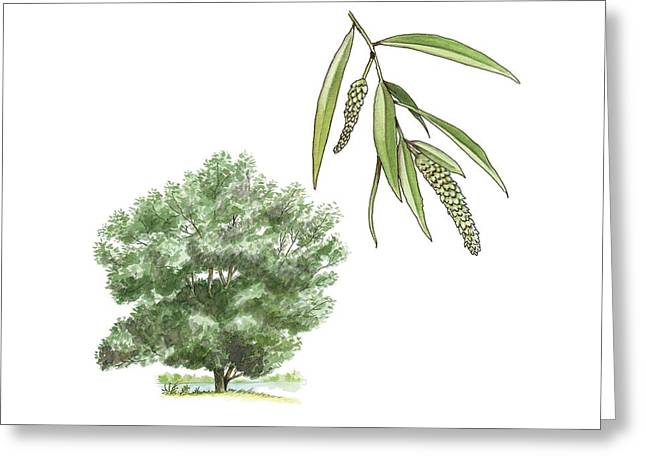 White Willow Greeting Cards - White willow (Salix alba) tree, artwork Greeting Card by Science Photo Library