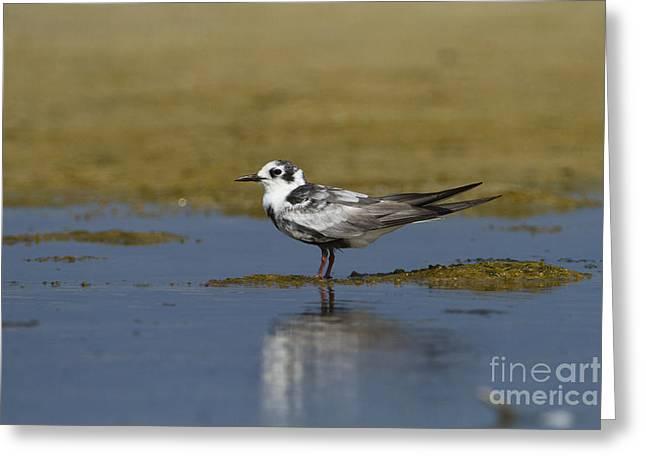 Tern Greeting Cards - White winged Tern Chlidonias leucopterus Greeting Card by Eyal Bartov