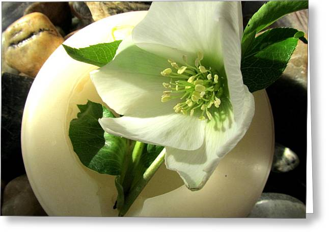 Joyce Woodhouse Greeting Cards - White Winter Flower. Greeting Card by Joyce Woodhouse
