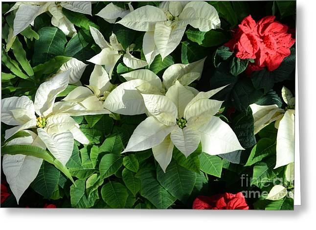Struckle Greeting Cards - White With Red Greeting Card by Kathleen Struckle