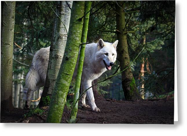 Preditor Greeting Cards - White Wolf Forest Greeting Card by Steve McKinzie