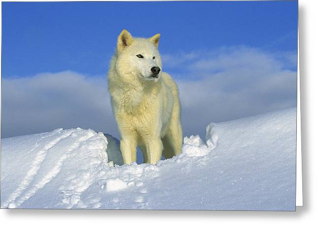 Three-quarter Length Greeting Cards - White Wolf In The Snow Idaho Greeting Card by Tom Vezo
