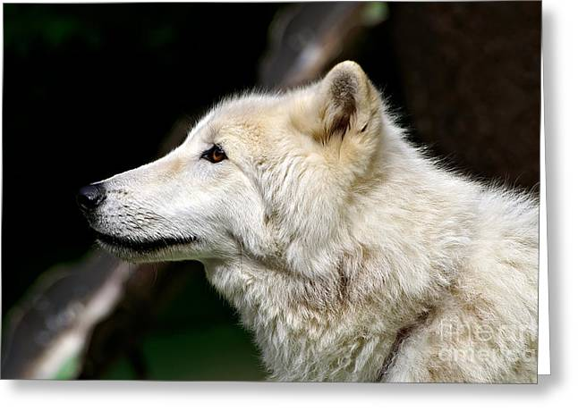 Hairy Wolf Greeting Cards - White Wolf Greeting Card by Michael Kirsh