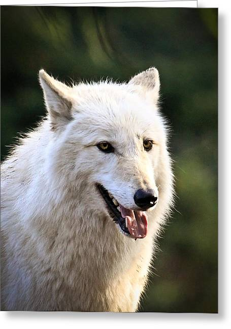 Preditor Greeting Cards - White Wolf Pant Greeting Card by Steve McKinzie