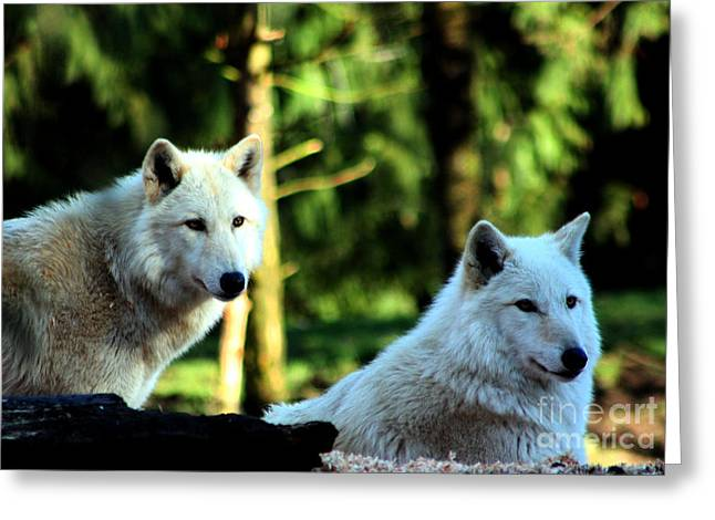 Arctic Wolf Greeting Cards - White Wolves Greeting Card by Nick Gustafson