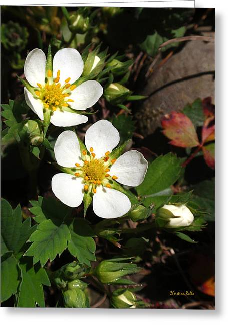 Strawberry Art Greeting Cards - White Wood Strawberry Flowers Greeting Card by Christina Rollo