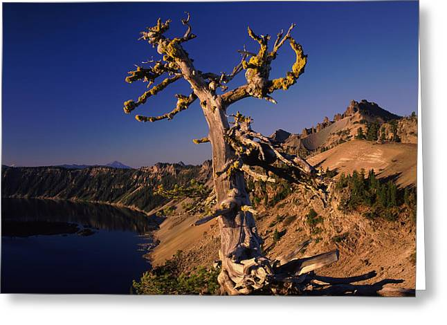 Crater Lake National Park Greeting Cards - Whitebark Pine Tree At Lakeside Greeting Card by Panoramic Images