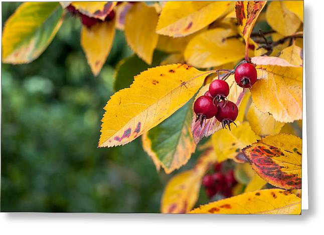 Earthy. Greens Greeting Cards - Whitebeam in Fall Greeting Card by Chay Bewley