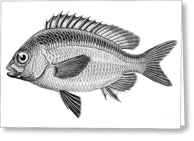 Painted Image Greeting Cards - Whitecheek Monocle Bream Greeting Card by Benoit Beauregard