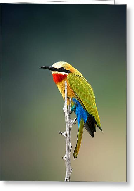 Bees Greeting Cards - Whitefronted Bee-eater Greeting Card by Johan Swanepoel