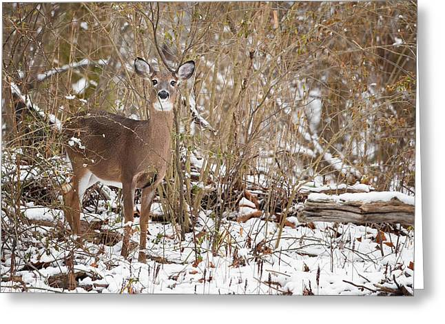 Whitetail Deer Greeting Card by Bill  Wakeley