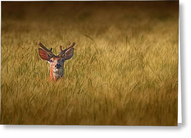 Wild Life Photographs Greeting Cards - Whitetail Deer in Wheat Field Greeting Card by Tom Mc Nemar
