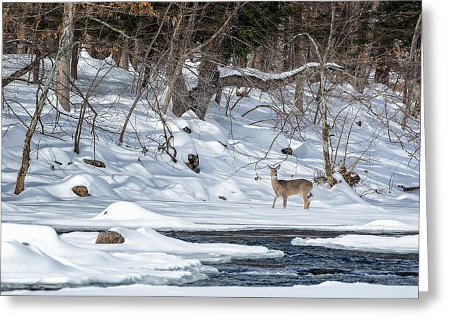 Forest Creature Greeting Cards - Whitetail Deer Winter Greeting Card by Bill Wakeley