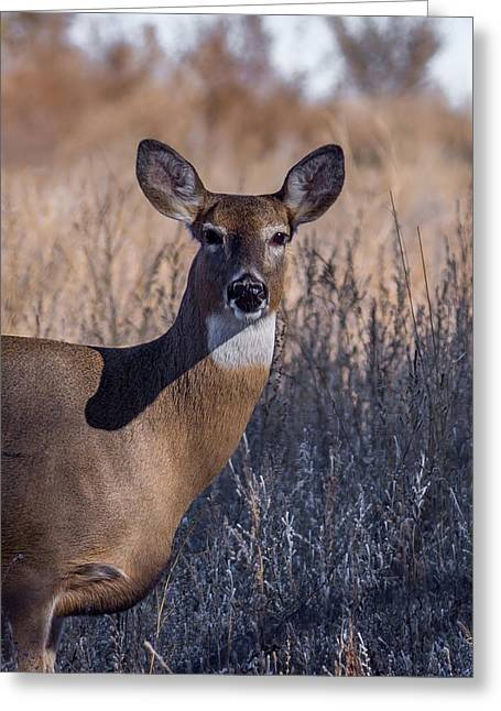 Fountain Creek Nature Center Greeting Cards - Whitetail Doe Keeping Watch Greeting Card by Ernie Echols