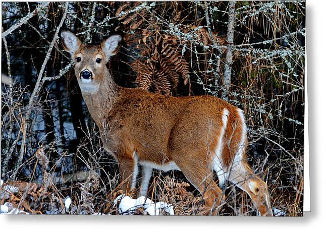 Annie Pflueger Greeting Cards - Whitetail Wonder Greeting Card by Annie Pflueger