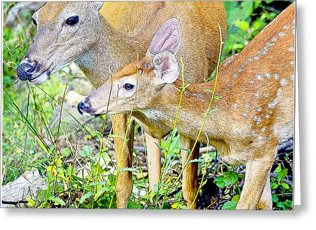 Whitetailed Deer Doe and Fawn Greeting Card by A Gurmankin
