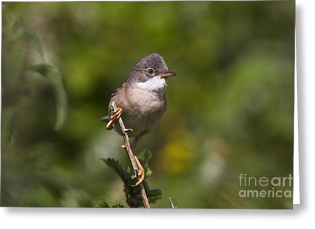 British Fauna Greeting Cards - Whitethroat Greeting Card by Thomas Hanahoe