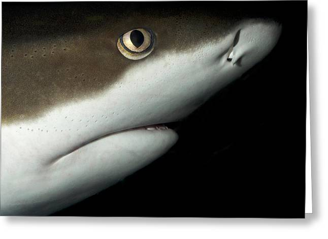 Whitetip Reef Shark Greeting Card by Nigel Downer