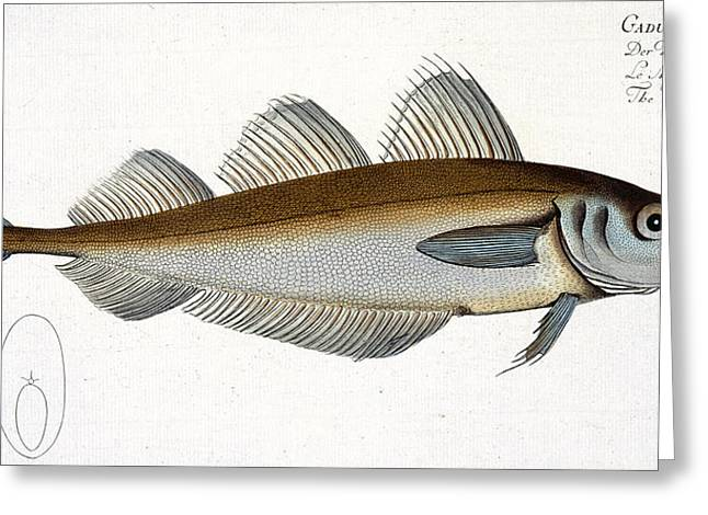 Angling Drawings Greeting Cards - Whiting Greeting Card by Andreas Ludwig Kruger