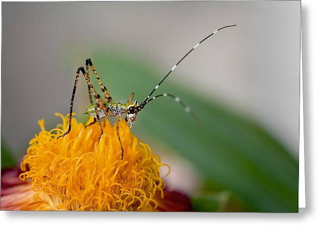 Katydid Greeting Cards - Who Did? Katy did. Greeting Card by David and Carol Kelly